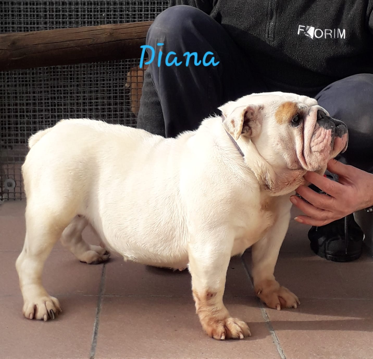 Diana di mantovanelli nato il: 25/08/2017 colore bianco